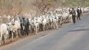 mucche nigeriane