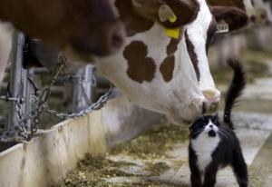due mucche e gattino
