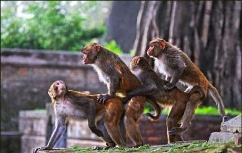 Omozoo: l'omosessualità tra scimpanzè bonobo, gabbiani, bisonti…